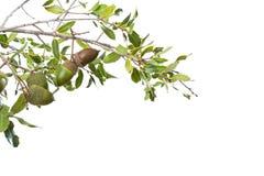 Wild acorn bush isolated on white Royalty Free Stock Photos