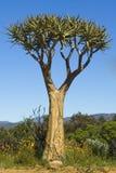 Wild Adansonia baobab tree Stock Images