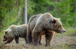 Wild adult Brown Bear  Ursus Arctos  and cub. In the summer forest Stock Photo