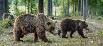 Wild adult Brown Bear  Ursus Arctos  in the summer forest. She-bear and cubs Stock Image