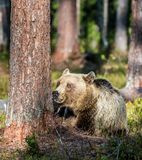 Wild adult Brown Bear  Ursus Arctos. In the summer forest. Green natural background Stock Photos
