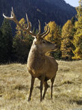 Wild, adult dominant Cervus elaphus Red deer male Stock Photo