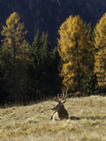 Wild, adult dominant Cervus elaphus Red deer male Royalty Free Stock Image