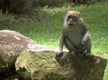 Wild Adult Macaque Monkey Stock Images