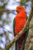 Wild Adult Male King Parrot, Queen Mary Falls, Queensland, Australia, March 2018. Adult Male King Parrot, Queen Mary Falls, Queensland, Australia, March 2018 royalty free stock photography