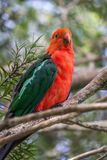 Wild Adult Male King Parrot, Queen Mary Falls, Queensland, Australia, March 2018. Adult Male King Parrot, Queen Mary Falls, Queensland, Australia, March 2018 stock photos