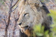 Wild Adult Male Lion with a Loose Canine. In South Africa Royalty Free Stock Image