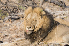 Wild Adult Male Lion with a Loose Canine in South Africa. Wild Adult Male Lion with a Loose Canine Resting on the Ground in South Africa Stock Images