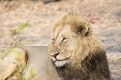 Wild Adult Male Lion in South Africa. Resting on the Ground Stock Photo