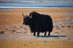 Wild adult male Yak is in the desert Stock Image