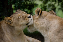 Wild affection. Closeup of two lioness's affectionately rubbing their muzzles against one another Stock Photos