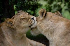 Wild affection Stock Photos