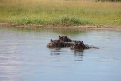 Wild Africa Botswana African Hippo animal mammal. Wild Africa Botswana savannah African Hippo animal mammal Royalty Free Stock Photography