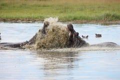 Wild Africa Botswana African Hippo animal mammal. Wild Africa Botswana savannah African Hippo animal mammal Stock Photos