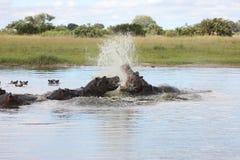 Wild Africa Botswana savannah African Hippo animal mammal. Wild Africa Botswana African Hippo animal mammal Stock Images
