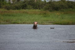 Wild Africa Botswana savannah African Hippo animal mammal. Wild Africa Botswana African Hippo animal mammal Stock Image
