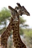 wild africa djur nationalparkserengeti Arkivbilder