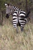 wild africa djur nationalparkserengeti Royaltyfri Bild