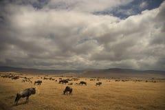 wild africa djur nationalparkserengeti Arkivbild