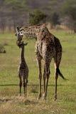 wild africa djur nationalparkserengeti Arkivfoton