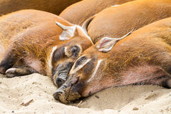 Wild africa pigs Stock Images