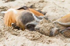 Wild africa pigs Stock Image