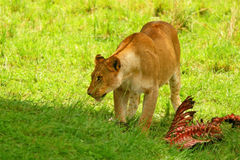 Wild africam lioness eating wildebeest Stock Photos