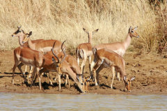 Wild african antelope, Royalty Free Stock Images