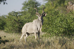 Wild african antelope, Royalty Free Stock Photo