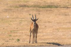 Wild African antelope on the pastures on a sunny day stock photo