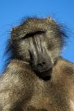 Wild African baboon Royalty Free Stock Photography