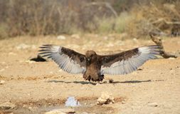 Wild African Birds - Brown Snake Eagle  Stock Photos