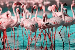Free Wild African Birds. Group Birds Of African Flamingos Walking Around The Blue Lagoon On A Sunny Day Royalty Free Stock Photography - 170115097