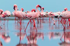 Free Wild African Birds. Group Birds Of Pink African Flamingos Walking Around The Blue Lagoon Royalty Free Stock Images - 166287279