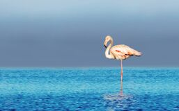 Free Wild African Birds. One Bird Of Pink African Flamingo Walking Around The Lagoon And Looking For Food Stock Photo - 187524140