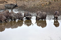 Wild African Buffalo Stock Photos