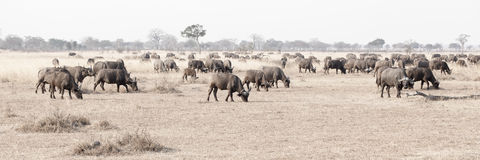 Wild African Buffalo Royalty Free Stock Image