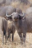 Wild African Buffalo Stock Photography