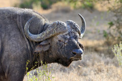 Wild African buffalo bull Royalty Free Stock Images