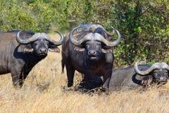 Wild African buffalo bull Stock Image