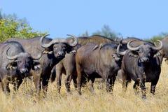 Wild African buffalo bull Royalty Free Stock Image