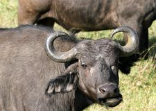 Wild African Buffalo with curved horn Royalty Free Stock Photography