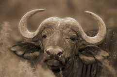 Wild african buffalo Royalty Free Stock Photos