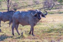 Wild African Buffalo.Kenya, Africa Stock Image