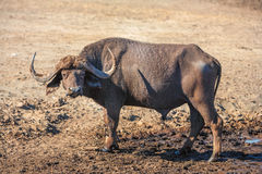 Wild African Buffalo.Kenya, Africa Royalty Free Stock Images