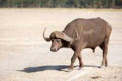 Wild African Buffalo. Kenya, Africa Stock Photos