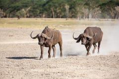 Wild African Buffalo.Kenya, Africa Stock Photography