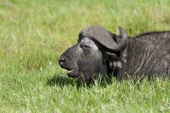 Wild African Buffalo relaxing Stock Image