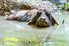 Wild African Buffalo Relaxing Stock Photos