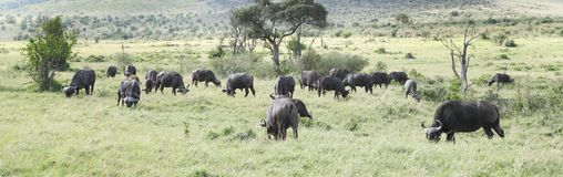 Wild African Buffaloes grazing in savannah Stock Images